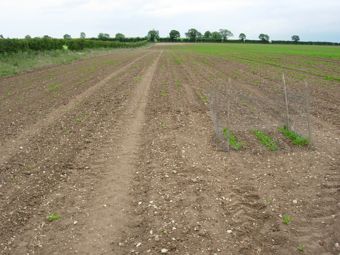 Sugar Beet Growing
