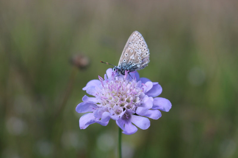 Small scabious and common blue