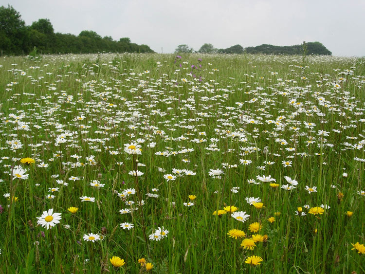 Oxeye daisy in young grassland