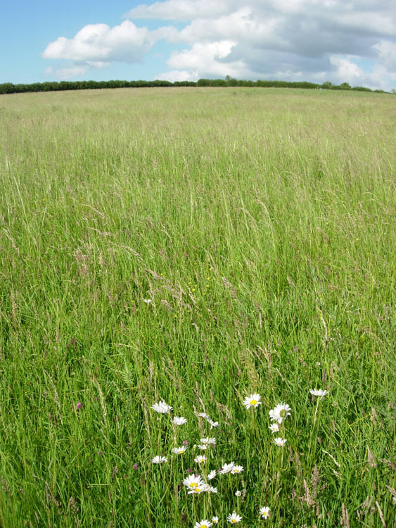 Unmown grassland with tall oatgrass