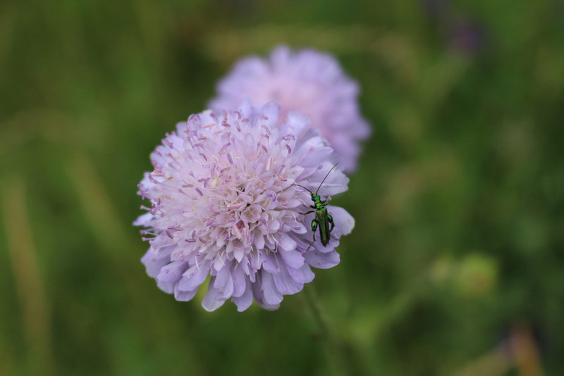 Field Scabious with beetle Oedemera nobilis