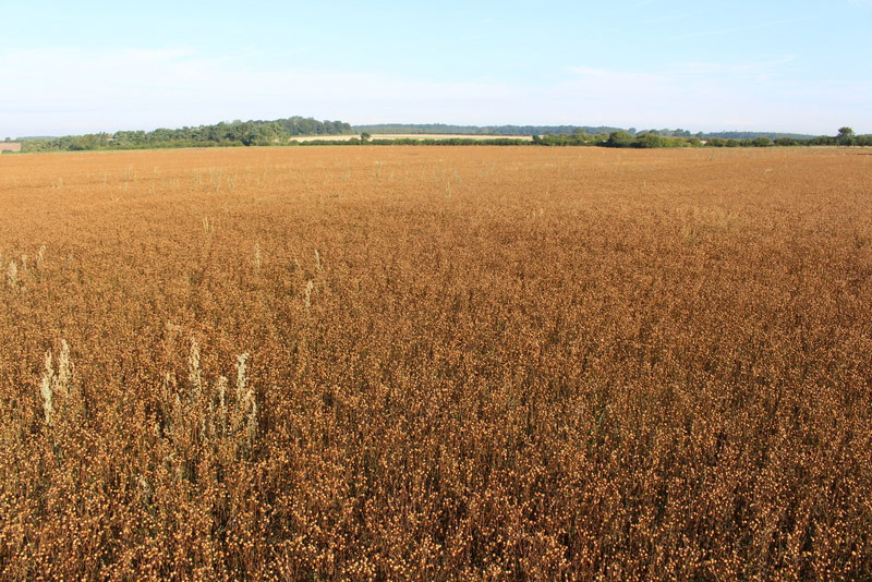 A field of linseed on the flat landscape to the east of the top of the scarp