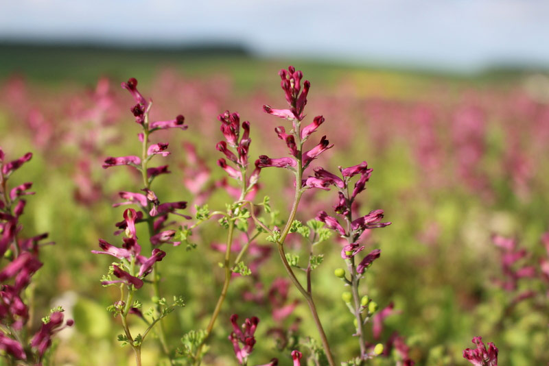 Fumitory flowers and green seeds