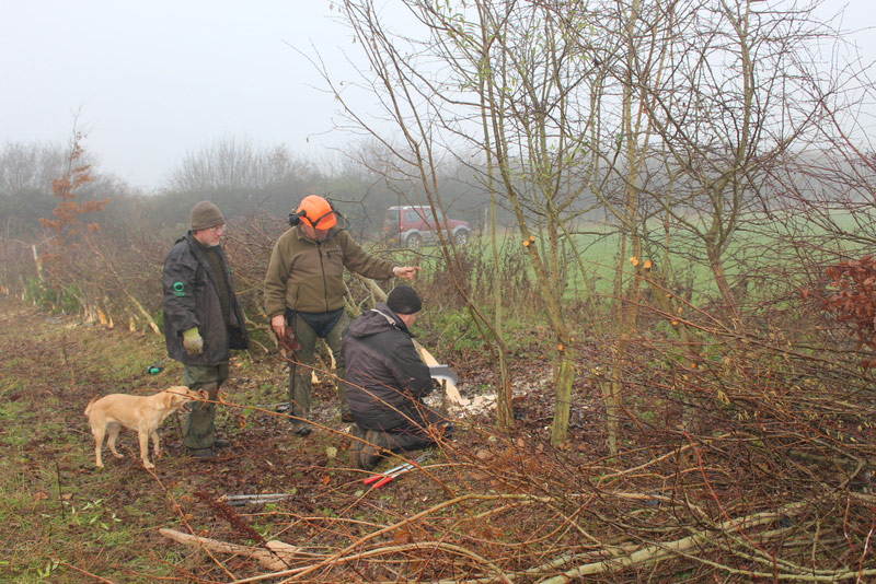 Laying a nine year-old hedge - getting training from Rory Hart of Wildlife Works