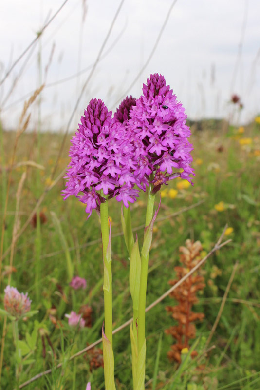 Pyramidal Orchid. First recorded on Abbey Farm in 2015 when six plants appeared in three different sites