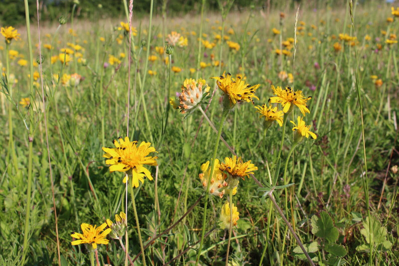 Rough Hawkbit with pollen beetles