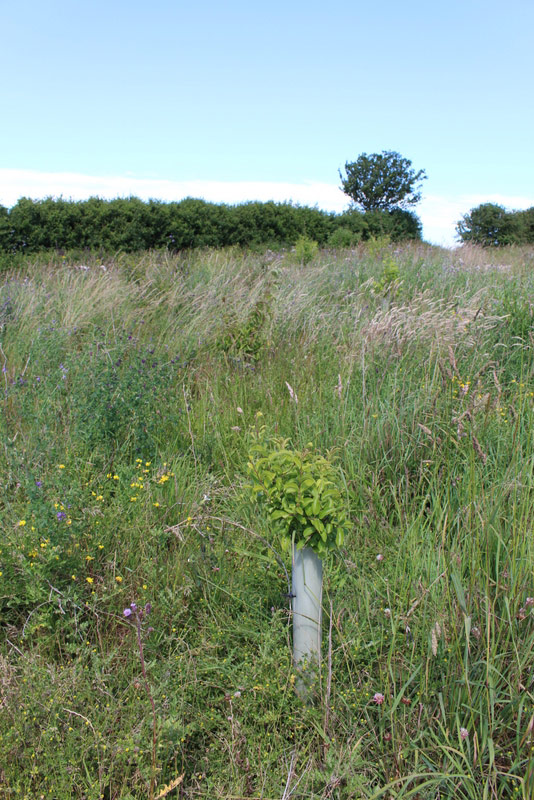 An area of recently planted mixed scrub in a field corner to attract invertebrates and nesting birds