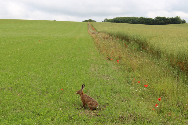 Brown Hare on organic green manure