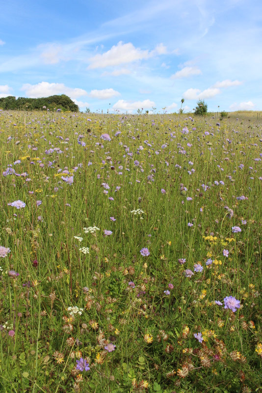 Small Scabious and other flowers