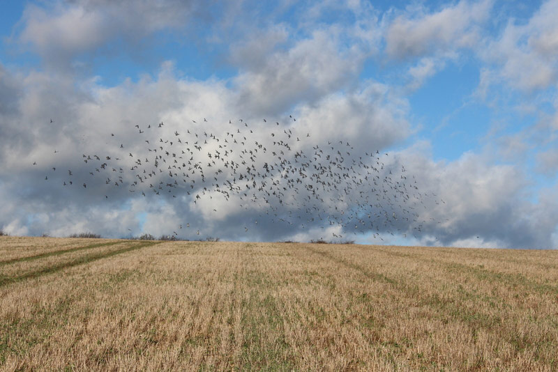 Wintering Stock Dove over a corn gromwell stubble