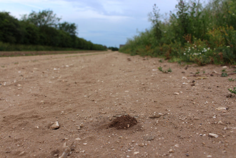 Burrow of a solitary wasp in a farm track