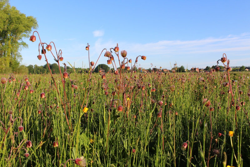 Water Avens in wet grassland
